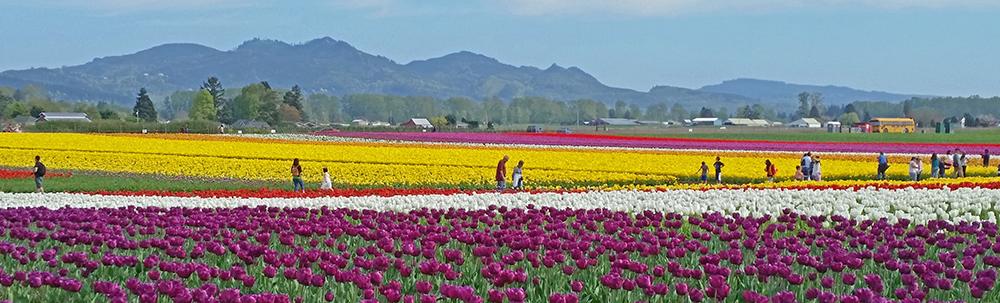 Photo of Skagit Valley tuplip fields.